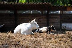 Vacas blancas y negras Foto de archivo libre de regalías