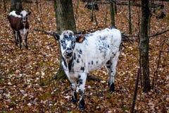 Vacas blancos y negros, caída, otoño fotos de archivo libres de regalías