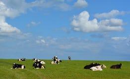Vacas blancos y negros contra el cielo azul Imágenes de archivo libres de regalías