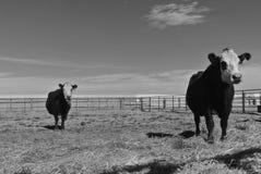 Vacas blancos y negros en blanco y negro imagenes de archivo