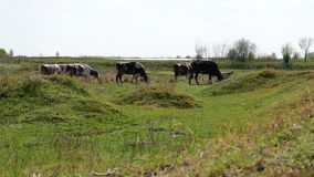 Vacas blancos y negros en fila, lado trasero metrajes