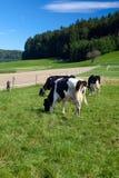 Vacas blancos y negros en granja Fotos de archivo libres de regalías