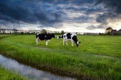Vacas blancos y negros en pasto antes de la puesta del sol Fotos de archivo