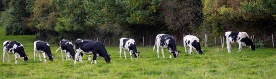 Vacas blancos y negros en un prado foto de archivo libre de regalías