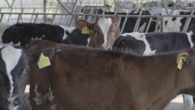 Vacas blancos y negros y marrones jovenes con los marcadores en los oídos en una granja Industria de la agricultura, cultivo y cr metrajes