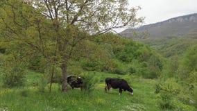 Vacas blancos y negros que se colocan y que pastan en un campo verde con un Mountain View hermoso que mira la c?mara Animales lin almacen de metraje de vídeo