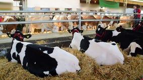 Vacas blancos y negros y vacas marrones y blancas que pastan y que descansan en un granero, feria agrícola, el 18 de mayo 2017 No metrajes