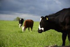 Vacas bonitas em um campo verde Fotos de Stock
