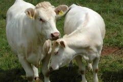 Vacas brancas. imagem de stock royalty free