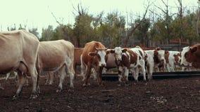 Vacas brancas e vermelhas que andam no pasto na exploração agrícola rural Rebanho das vacas na vila filme