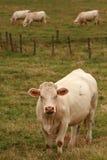 Vacas brancas francesas Imagens de Stock
