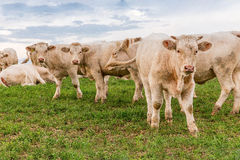 Vacas brancas no campo Imagem de Stock