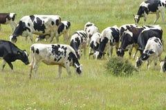 Vacas brancas pretas ouvidas curiosas Imagem de Stock Royalty Free