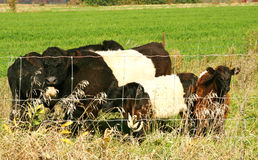 Vacas ceñidas de Galloway Fotos de archivo libres de regalías
