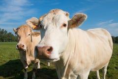 Vacas com céu azul Imagens de Stock Royalty Free