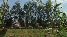 Vacas com os chifres que pastam no campo Vaca cinzenta húngara  filme