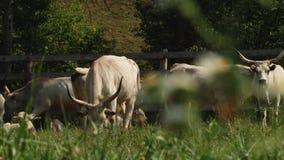 Vacas com os chifres que pastam no campo Vaca cinzenta húngara  vídeos de arquivo