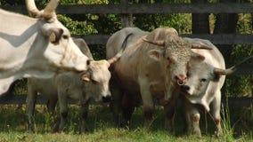Vacas com os chifres que pastam no campo Vaca cinzenta húngara verão vídeos de arquivo