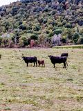 Vacas com vitelas Foto de Stock Royalty Free