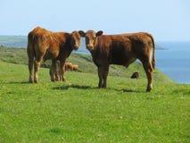 Vacas comunes de la curiosidad Fotografía de archivo