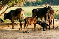 Vacas con el becerro recién nacido Fotografía de archivo libre de regalías
