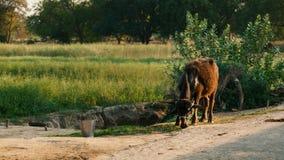 Vacas con el becerro recién nacido Fotografía de archivo