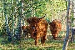 Vacas con el pelo largo Foto de archivo