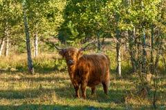 Vacas con el pelo largo Fotografía de archivo