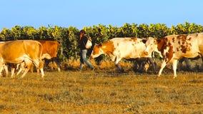 Vacas con los girasoles almacen de video