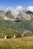 3 vacas con su campana durmieron en un prado Fotos de archivo