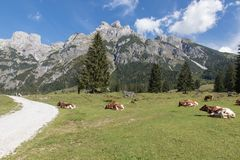 Vacas con un paisaje hermoso de la montaña fotografía de archivo