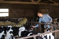 Vacas conmovedoras del hombre en establo Imagenes de archivo