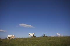 Vacas contra el cielo azul Imagenes de archivo