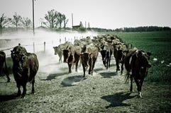 Vacas corrientes Fotografía de archivo