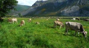 Vacas Stock Photography