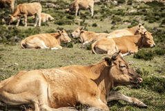 Vacas Stock Photography