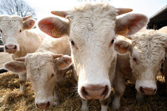 Vacas curiosas Foto de archivo