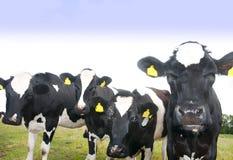 Vacas curiosas Fotografía de archivo libre de regalías