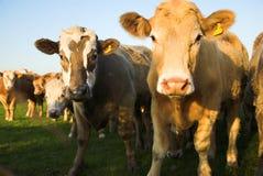 Vacas curiosas Imágenes de archivo libres de regalías