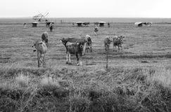 Vacas curiosas Imagenes de archivo