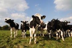 Vacas curiosas Foto de Stock Royalty Free