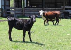 Vacas curiosas Imagen de archivo libre de regalías
