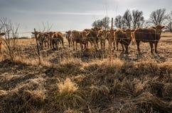Vacas curiosas Fotografía de archivo