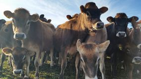 Vacas curiosas dos animais de um ano em uma exploração agrícola em Nova Zelândia Foto de Stock