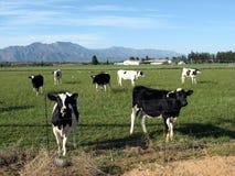 Vacas curiosas em um campo Fotos de Stock