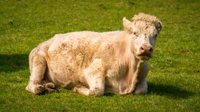 Vacas curiosas em um prado Imagens de Stock
