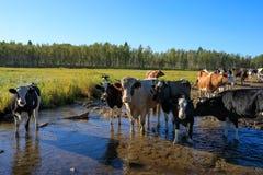 Vacas curiosas en bosque Imagen de archivo libre de regalías