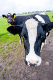 Vacas curiosas en un paisaje holandés Fotos de archivo libres de regalías