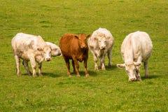 Vacas curiosas en un prado Imagen de archivo libre de regalías