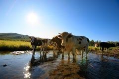 Vacas curiosas que miran la cámara Imagen de archivo libre de regalías